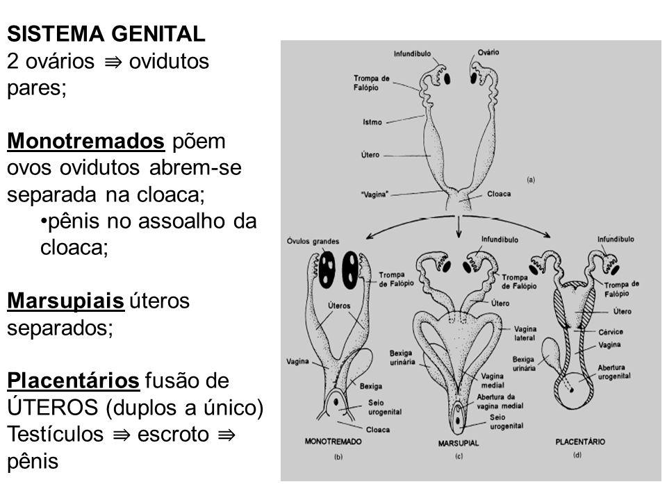 SISTEMA GENITAL 2 ovários ⇛ ovidutos pares; Monotremados põem ovos ovidutos abrem-se separada na cloaca;