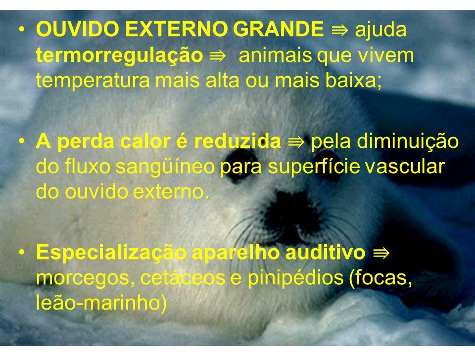 OUVIDO EXTERNO GRANDE ⇛ ajuda termorregulação ⇛ animais que vivem temperatura mais alta ou mais baixa;