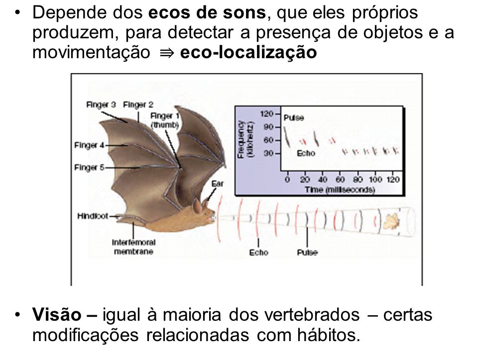 Depende dos ecos de sons, que eles próprios produzem, para detectar a presença de objetos e a movimentação ⇛ eco-localização