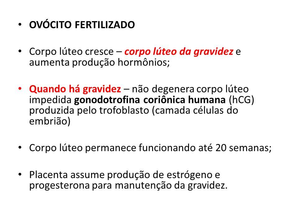 OVÓCITO FERTILIZADO Corpo lúteo cresce – corpo lúteo da gravidez e aumenta produção hormônios;
