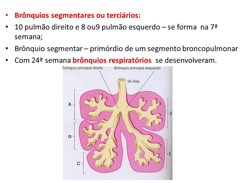 Brônquios segmentares ou terciários: