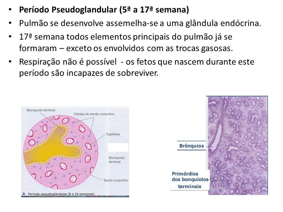 Período Pseudoglandular (5ª a 17ª semana)