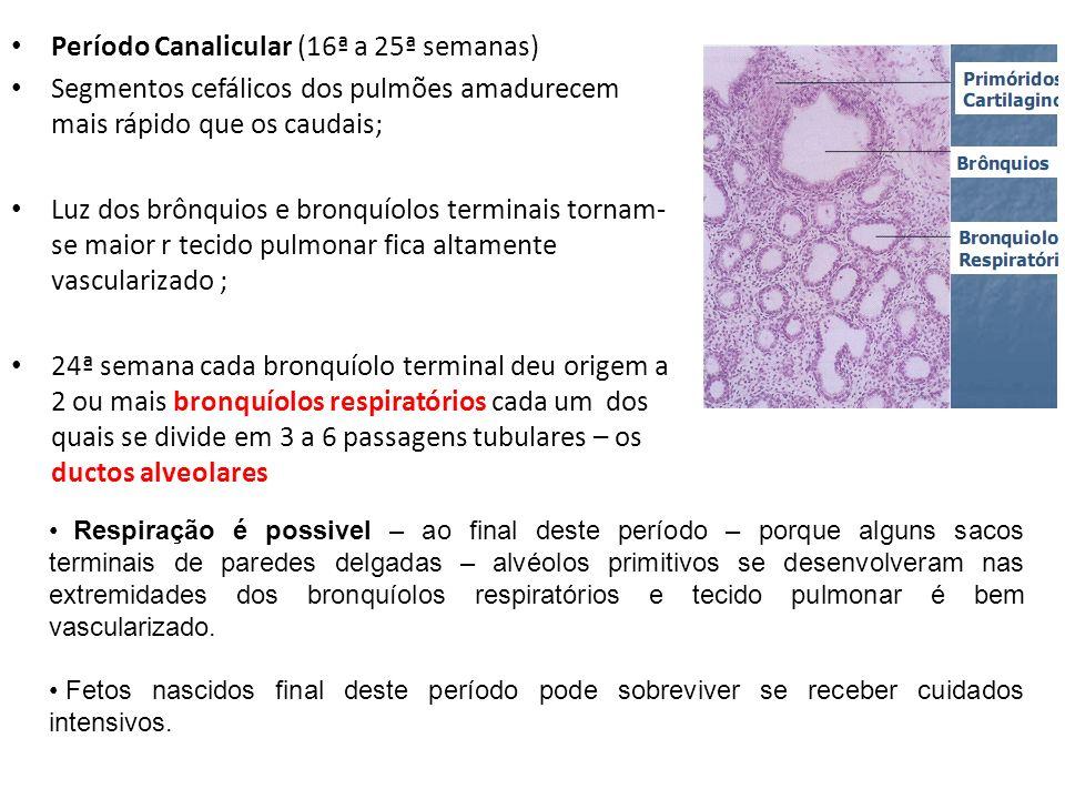 Período Canalicular (16ª a 25ª semanas)