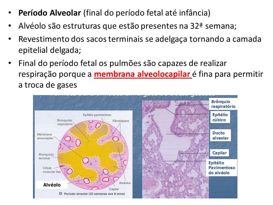 Período Alveolar (final do período fetal até infância)