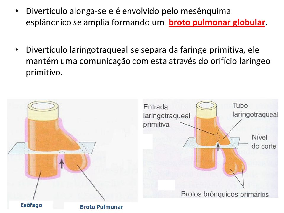 Divertículo alonga-se e é envolvido pelo mesênquima esplâncnico se amplia formando um broto pulmonar globular.