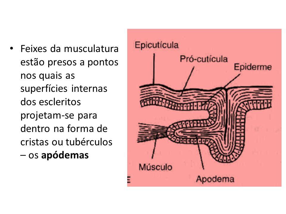 Feixes da musculatura estão presos a pontos nos quais as superfícies internas dos escleritos projetam-se para dentro na forma de cristas ou tubérculos – os apódemas