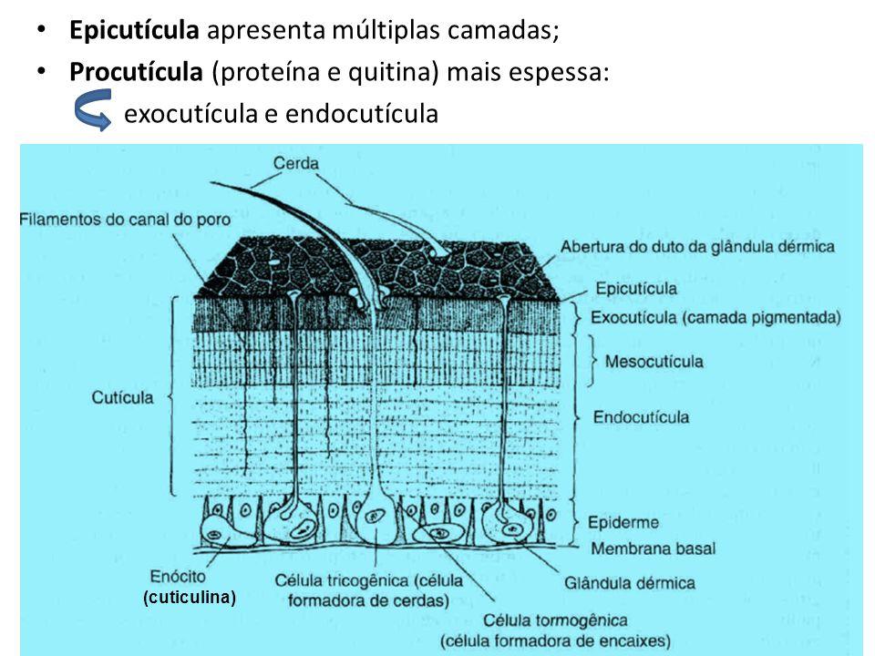 Epicutícula apresenta múltiplas camadas;