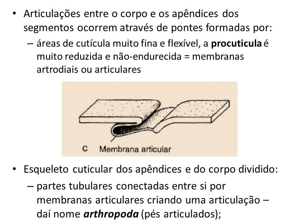 Esqueleto cuticular dos apêndices e do corpo dividido:
