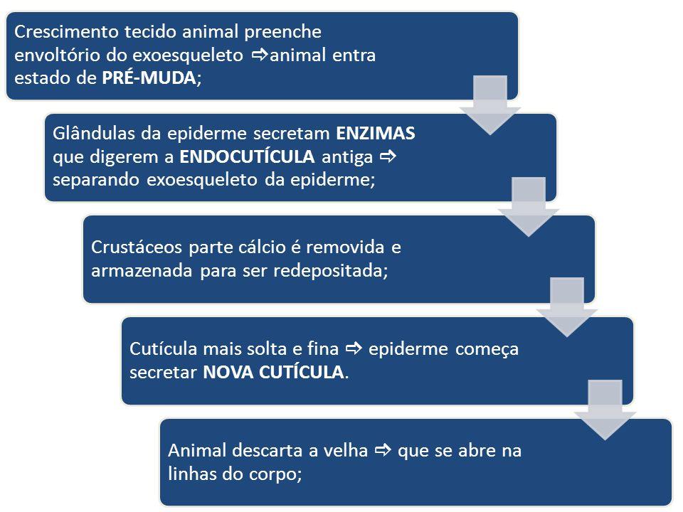 Crescimento tecido animal preenche envoltório do exoesqueleto animal entra estado de PRÉ-MUDA;