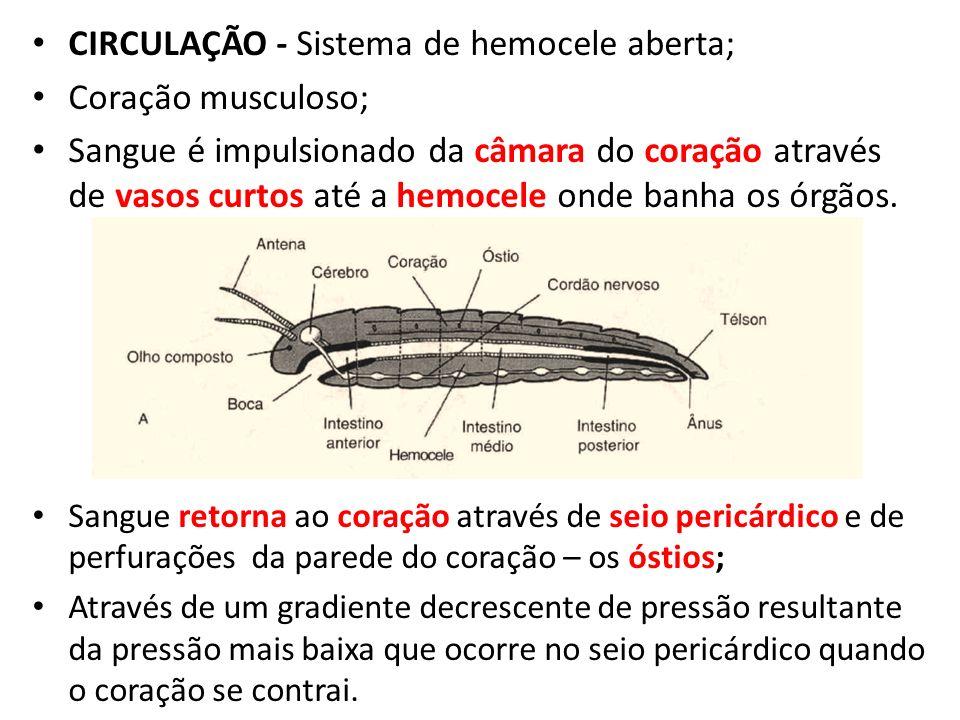 CIRCULAÇÃO - Sistema de hemocele aberta; Coração musculoso;