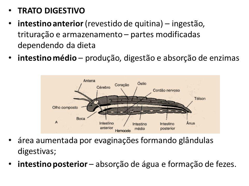 TRATO DIGESTIVO intestino anterior (revestido de quitina) – ingestão, trituração e armazenamento – partes modificadas dependendo da dieta.