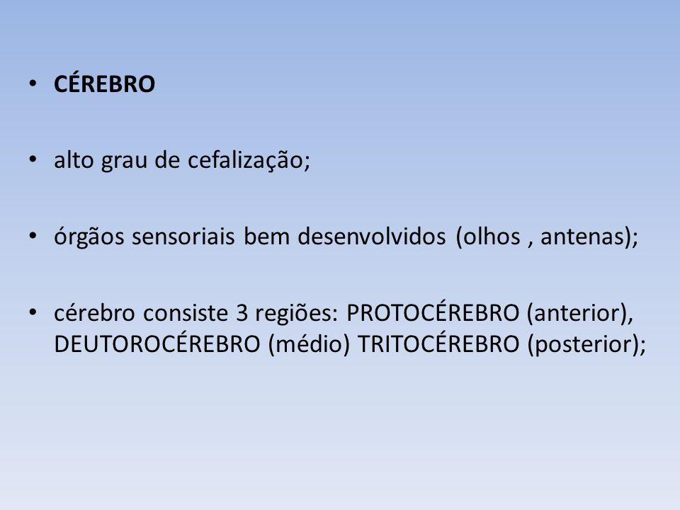 CÉREBRO alto grau de cefalização; órgãos sensoriais bem desenvolvidos (olhos , antenas);