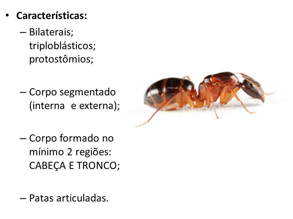 Características: Bilaterais; triploblásticos; protostômios; Corpo segmentado (interna e externa);
