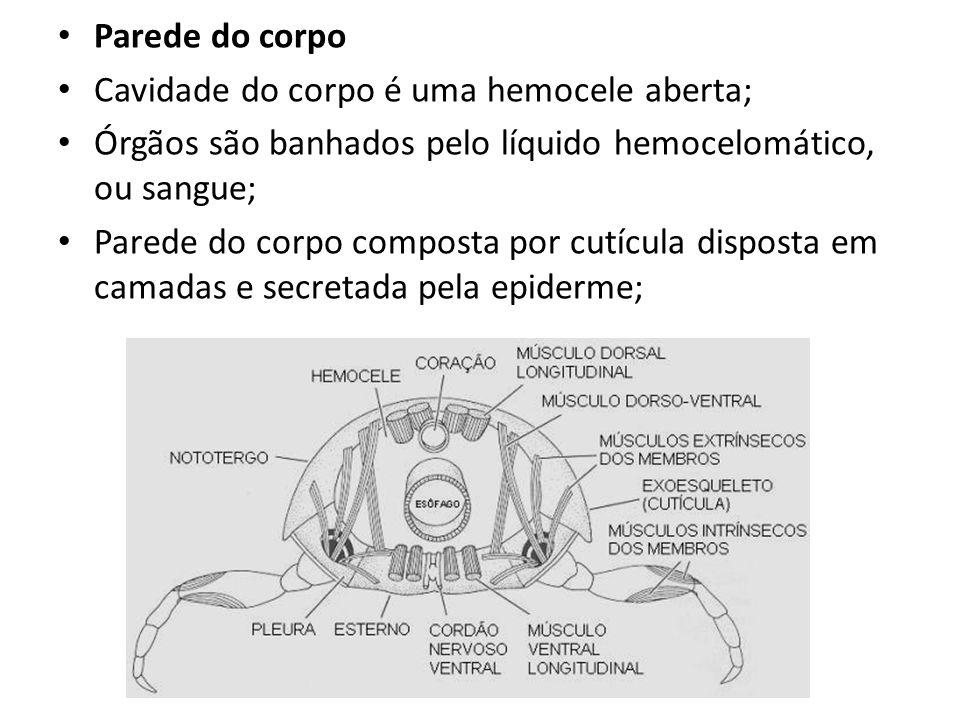 Parede do corpo Cavidade do corpo é uma hemocele aberta; Órgãos são banhados pelo líquido hemocelomático, ou sangue;