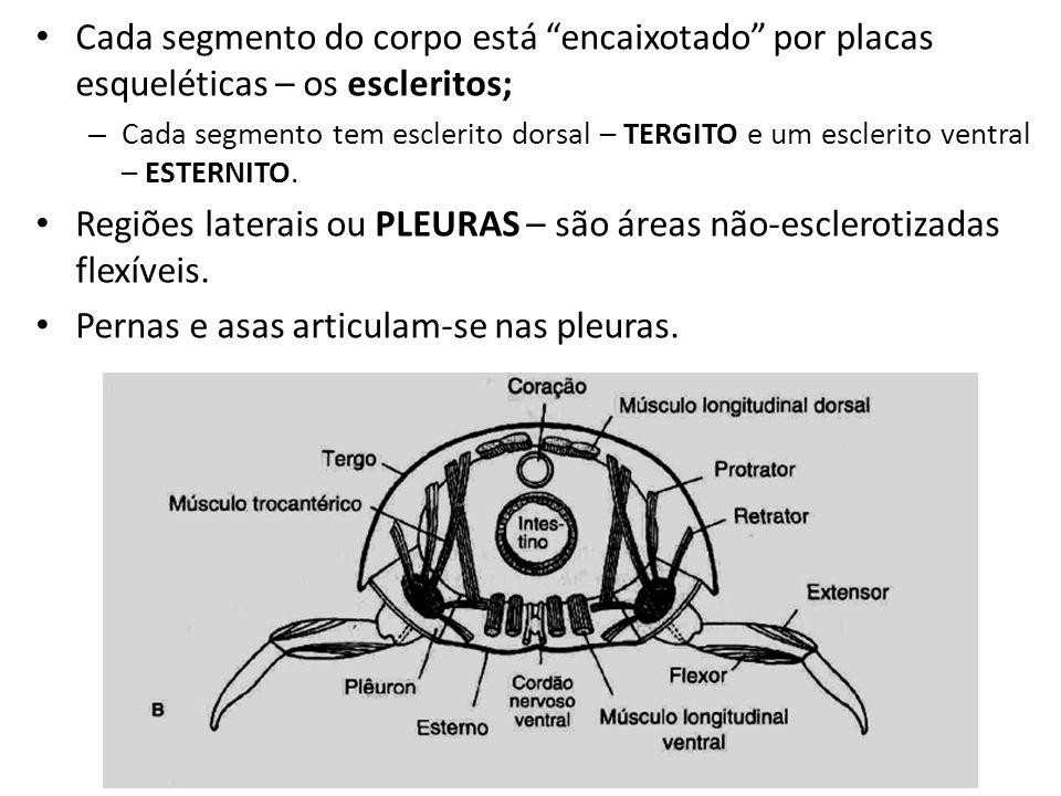 Regiões laterais ou PLEURAS – são áreas não-esclerotizadas flexíveis.