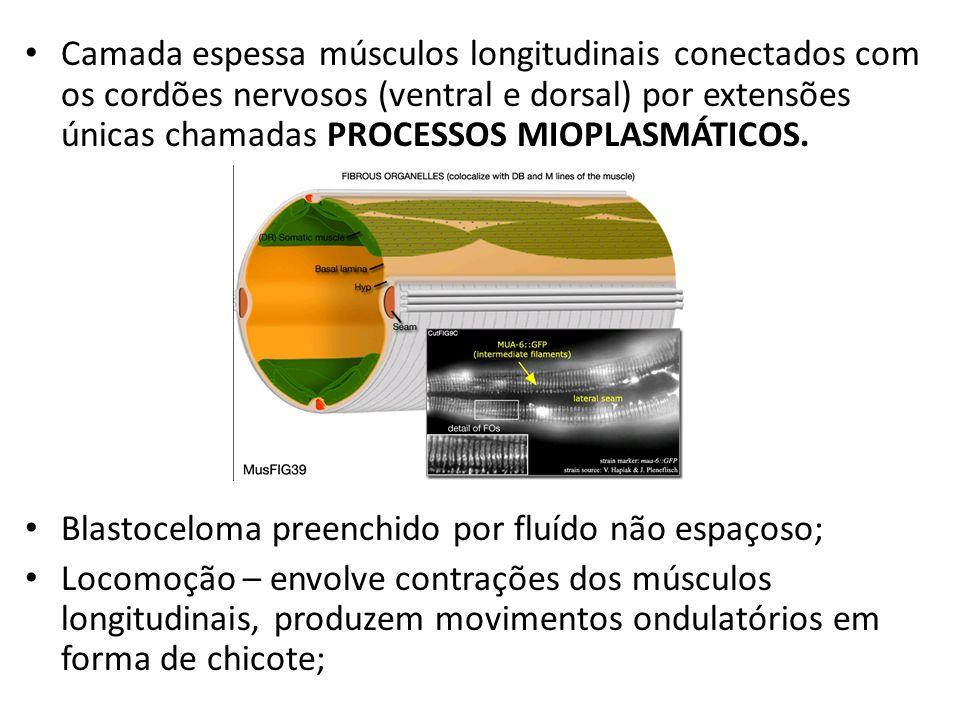 Camada espessa músculos longitudinais conectados com os cordões nervosos (ventral e dorsal) por extensões únicas chamadas PROCESSOS MIOPLASMÁTICOS.