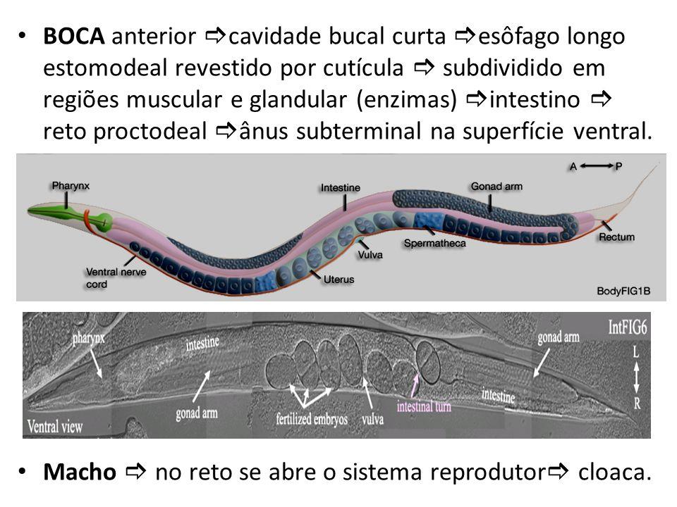 BOCA anterior cavidade bucal curta esôfago longo estomodeal revestido por cutícula  subdividido em regiões muscular e glandular (enzimas) intestino  reto proctodeal ânus subterminal na superfície ventral.