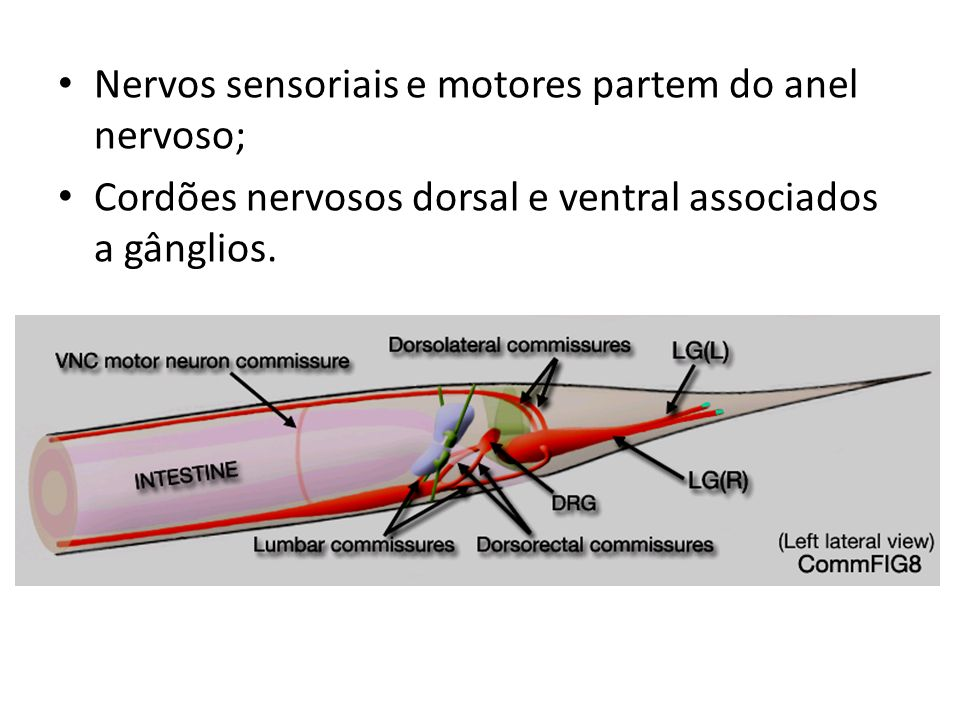 Nervos sensoriais e motores partem do anel nervoso;