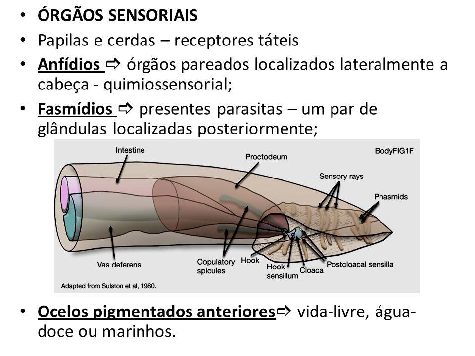 ÓRGÃOS SENSORIAISPapilas e cerdas – receptores táteis. Anfídios  órgãos pareados localizados lateralmente a cabeça - quimiossensorial;