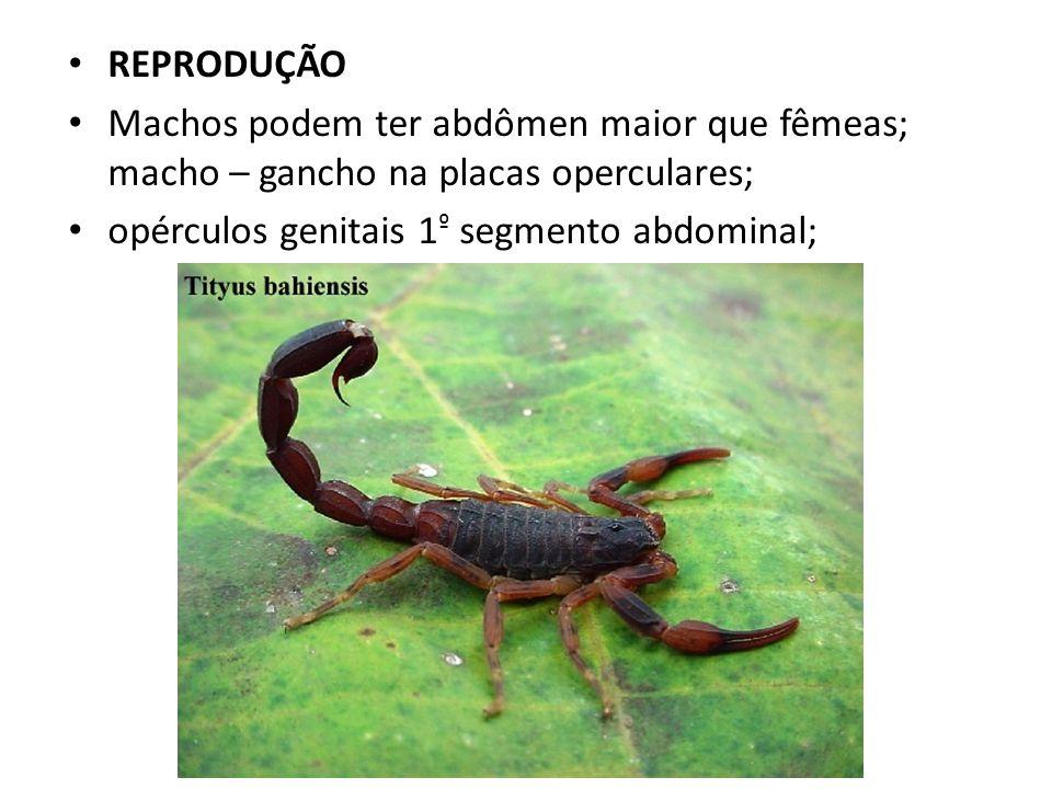 REPRODUÇÃO Machos podem ter abdômen maior que fêmeas; macho – gancho na placas operculares; opérculos genitais 1º segmento abdominal;