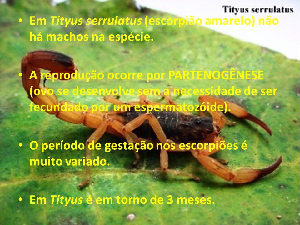 Em Tityus serrulatus (escorpião amarelo) não há machos na espécie.