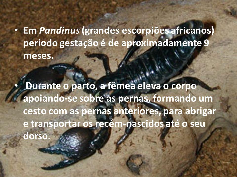 Em Pandinus (grandes escorpiões africanos) período gestação é de aproximadamente 9 meses.
