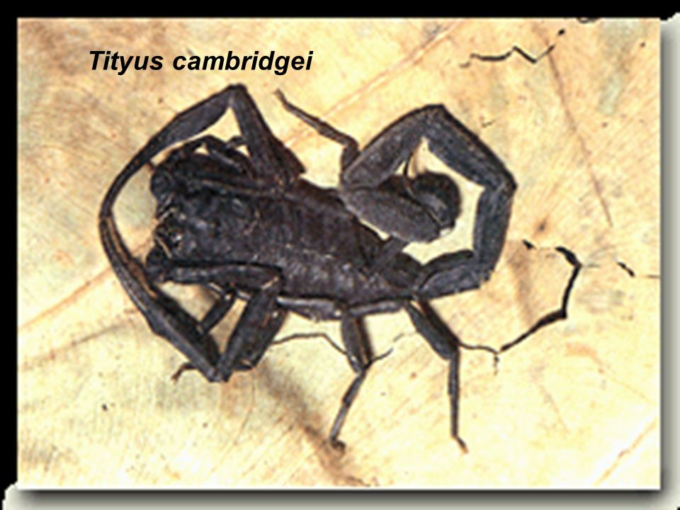 Tityus cambridgei