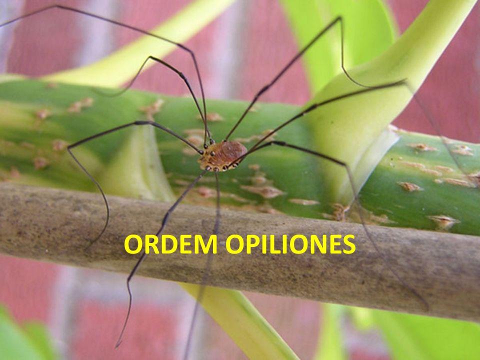 ORDEM OPILIONES