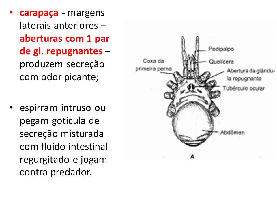 carapaça - margens laterais anteriores – aberturas com 1 par de gl