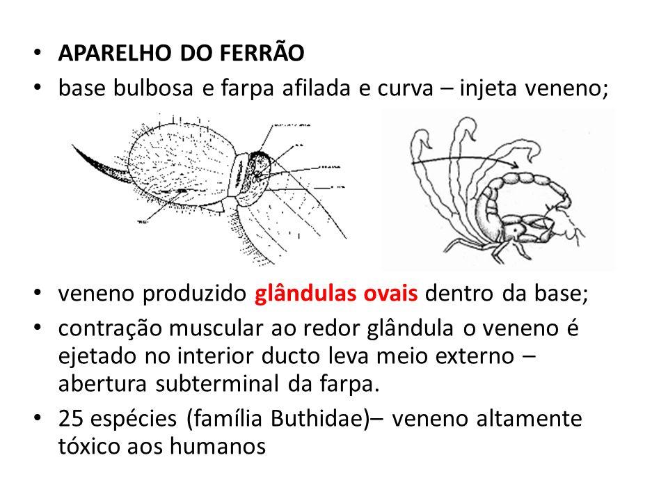 APARELHO DO FERRÃO base bulbosa e farpa afilada e curva – injeta veneno; veneno produzido glândulas ovais dentro da base;