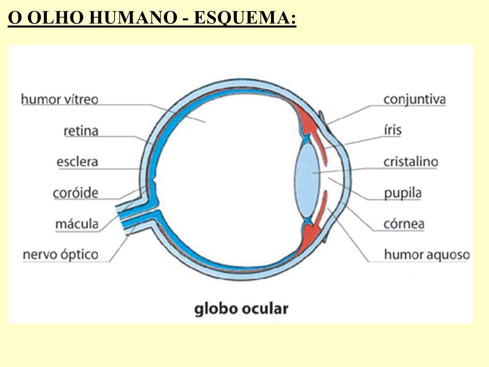 O OLHO HUMANO - ESQUEMA: