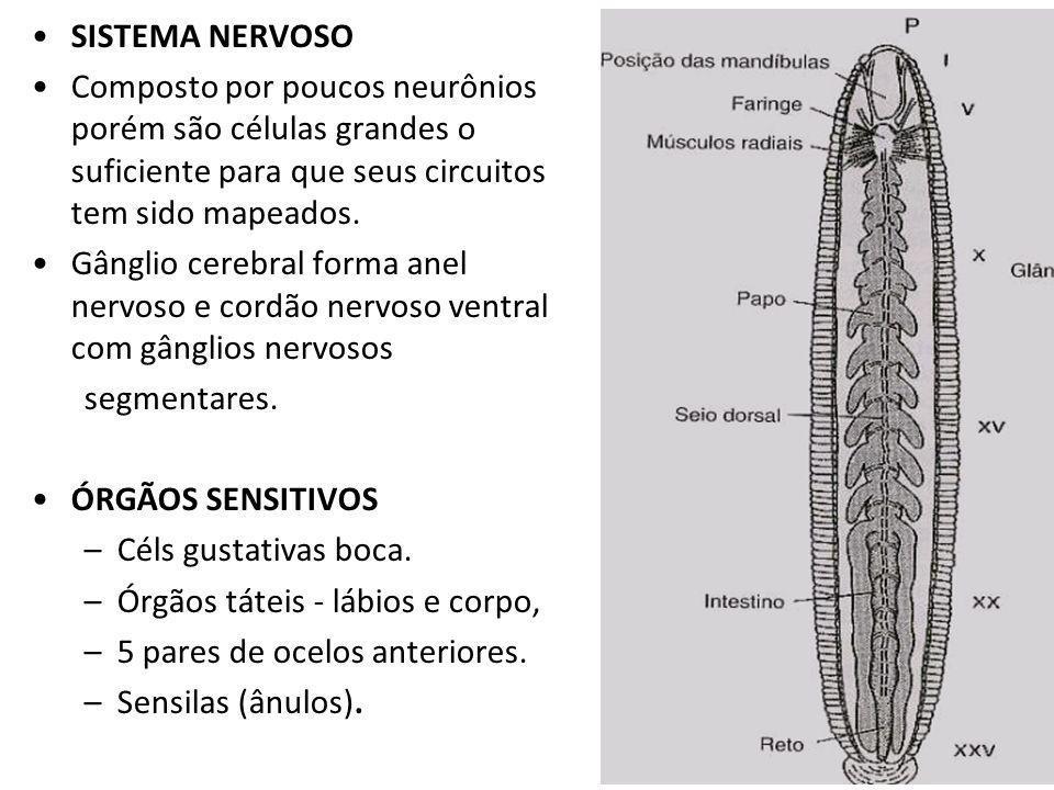 SISTEMA NERVOSO Composto por poucos neurônios porém são células grandes o suficiente para que seus circuitos tem sido mapeados.