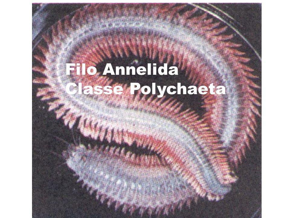 Filo Annelida Classe Polychaeta