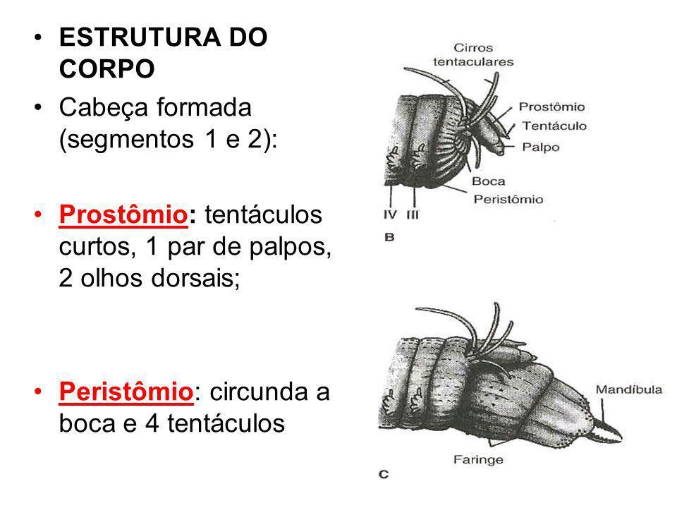 ESTRUTURA DO CORPO Cabeça formada (segmentos 1 e 2): Prostômio: tentáculos curtos, 1 par de palpos, 2 olhos dorsais;