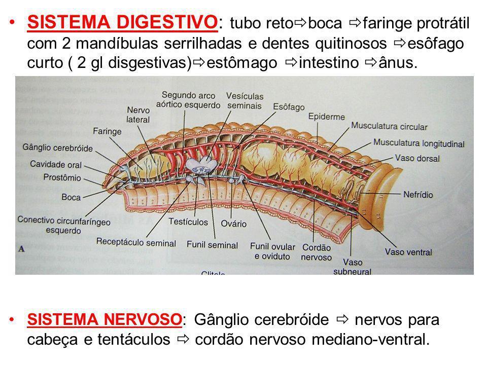 SISTEMA DIGESTIVO: tubo retoboca faringe protrátil com 2 mandíbulas serrilhadas e dentes quitinosos esôfago curto ( 2 gl disgestivas)estômago intestino ânus.