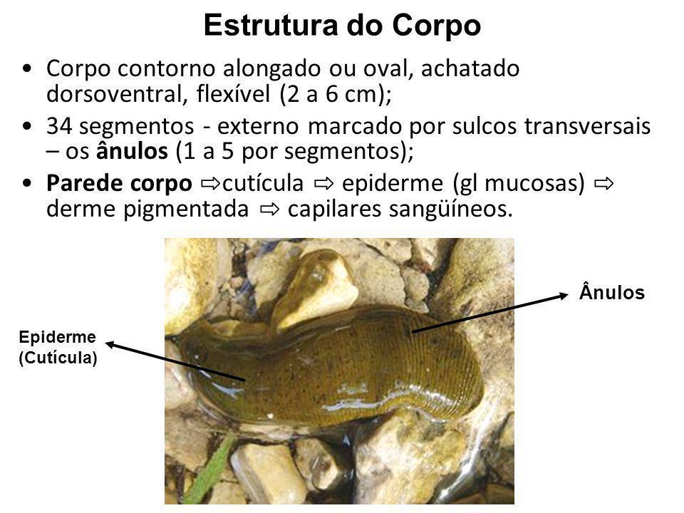 Estrutura do CorpoCorpo contorno alongado ou oval, achatado dorsoventral, flexível (2 a 6 cm);
