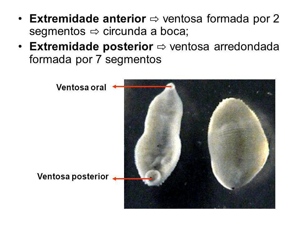 Extremidade posterior ⇨ ventosa arredondada formada por 7 segmentos