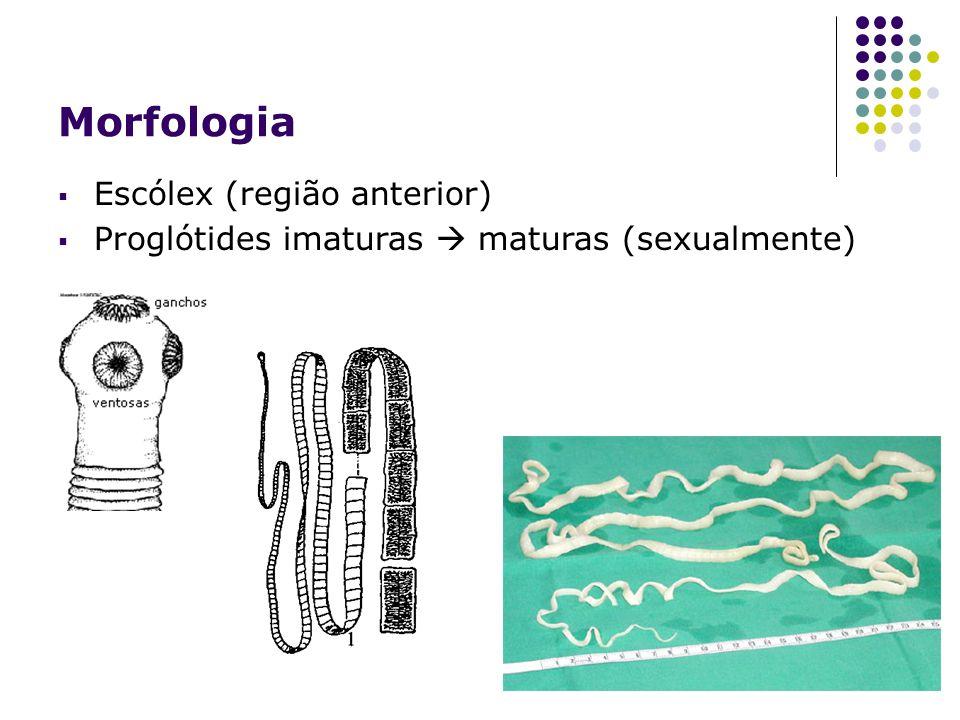 Morfologia Escólex (região anterior)