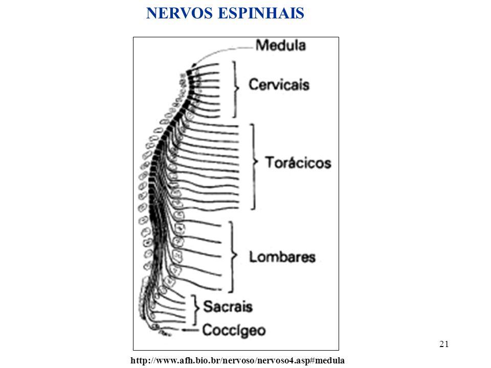 NERVOS ESPINHAIS http://www.afh.bio.br/nervoso/nervoso4.asp#medula