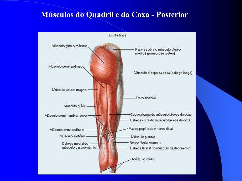 Músculos do Quadril e da Coxa - Posterior