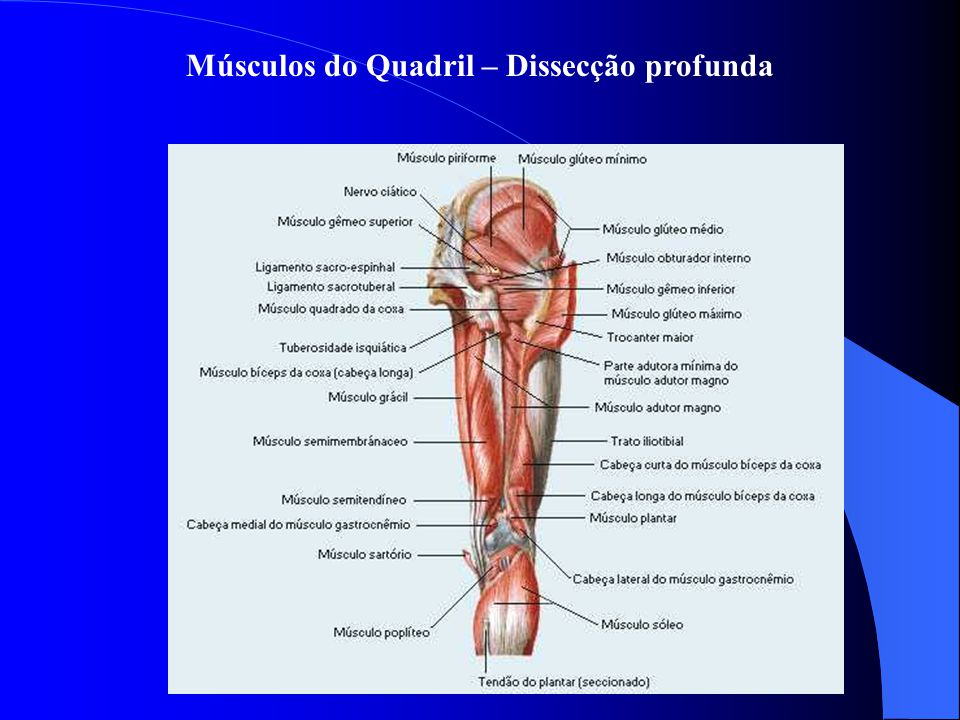 Músculos do Quadril – Dissecção profunda