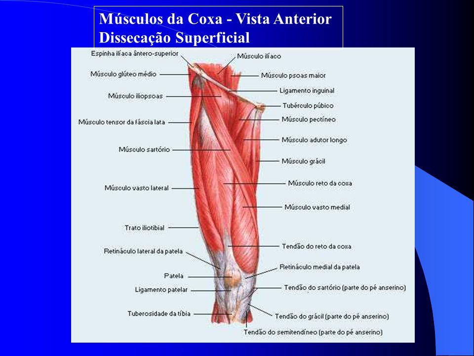 Músculos da Coxa - Vista Anterior Dissecação Superficial