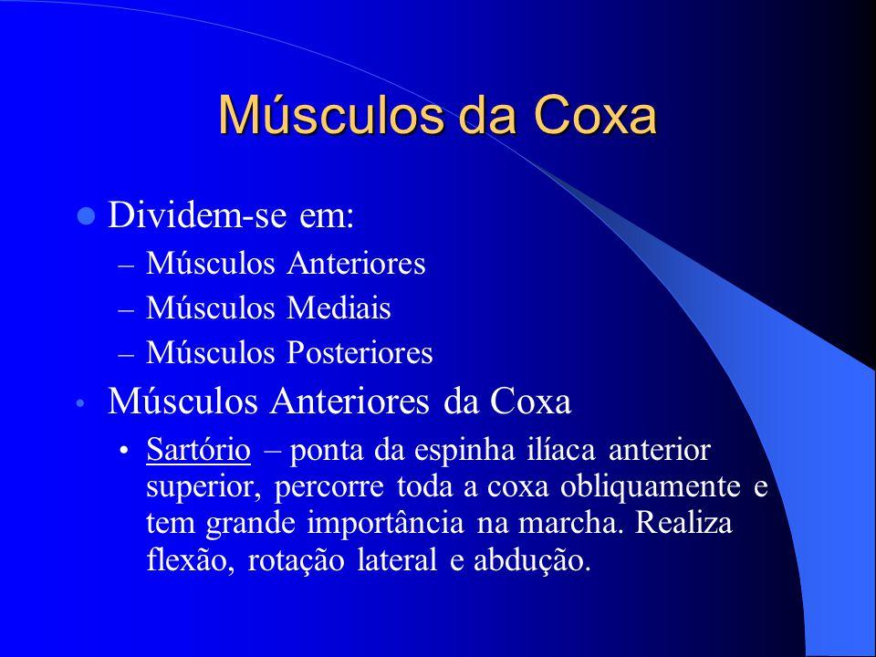 Músculos da Coxa Dividem-se em: Músculos Anteriores da Coxa