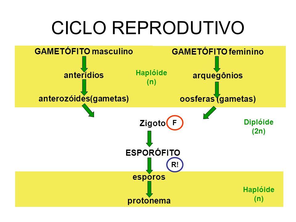 anterozóides(gametas)