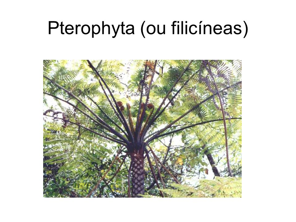 Pterophyta (ou filicíneas)
