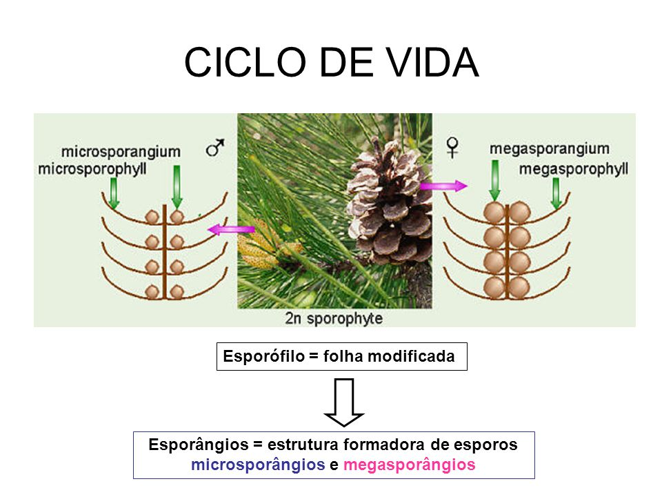 CICLO DE VIDA Esporófilo = folha modificada