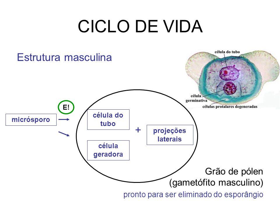 CICLO DE VIDA Estrutura masculina +