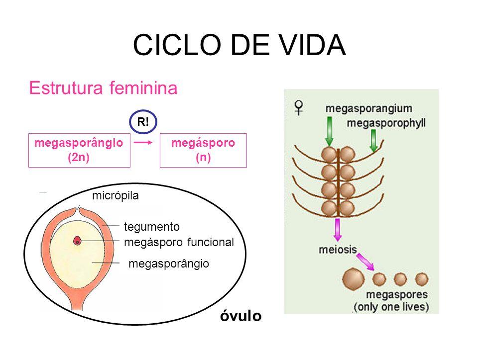 CICLO DE VIDA Estrutura feminina óvulo R! megasporângio (2n)