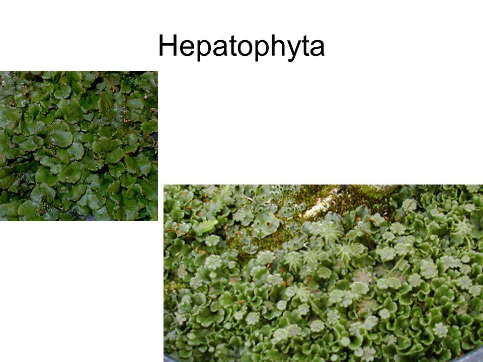Hepatophyta
