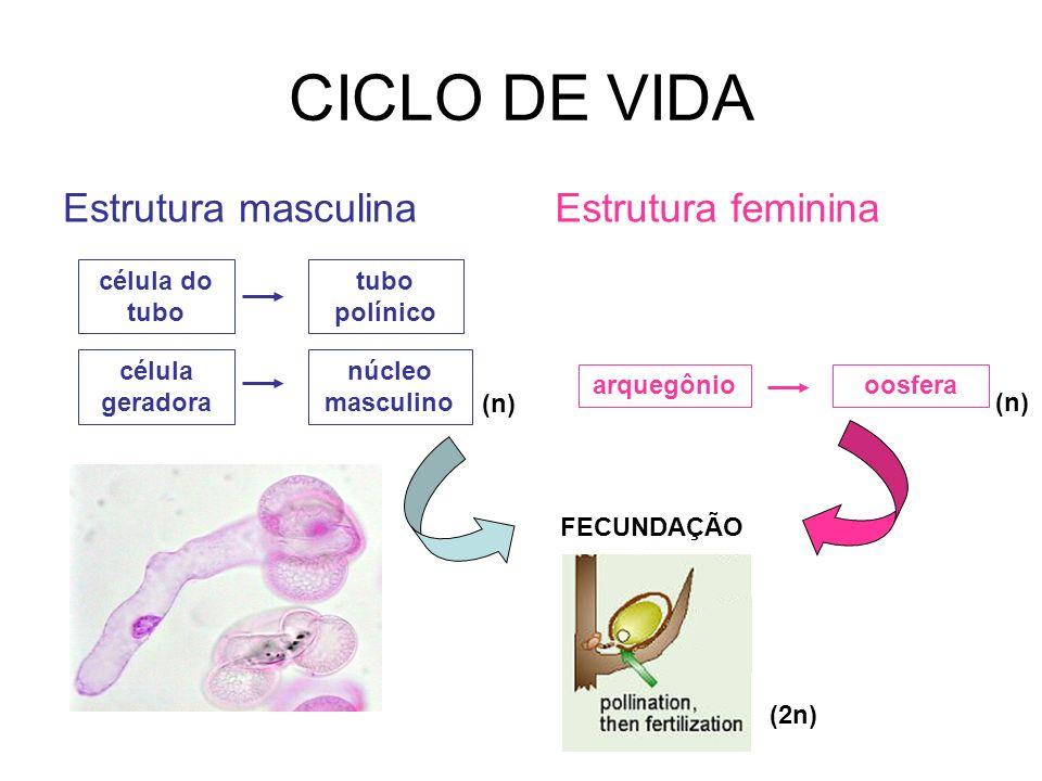 CICLO DE VIDA Estrutura masculina Estrutura feminina célula do tubo